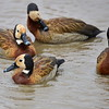 Witwen-Pfeifgans, White-faced Whistling Duck, Dendrocygna viduata