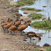 Gelbbrust-Pfeifgans, Fulvous Whistling-Duck