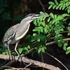 Striated Heron, Mangrovenreiher, Butorides striatus