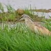 Rallenreiher, Common Squacco Heron, Ardeola ralloides