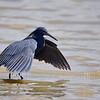 Black Heron, Glockenreiher, Egretta ardesiaca