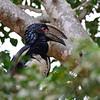 Trumpeter HornbillTrompeterhornvogelBycanistes bucinator