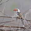 Rotschnabeltoko, Red-billed Hornbill, Tockus erythrorhynchus ♀