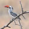 Rotschnabeltoko, Red-billed Hornbill, Tockus erythrorhynchus