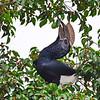 Silberwangen-Hornvogel, Silvery-cheeked Hornbill, Bycanistes brevis ♂