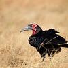 Southern Ground Hornbill, Südlicher Hornrabe, Bucorvus leadbeateri