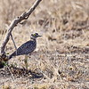 Spotted Thick-knee,	Kaptriel,  	Burhinus capensis