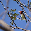 Black-collared Barbet, Halsbandbartvogel,  Lybius torquatus