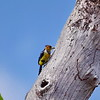 Crested Barbet, Haubenbartvogel, Trachyphonus vaillantii