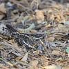 Slender-tailed Nightjar,  Kurzschleppen-Nachtschwalbe, Caprimulgus clarus