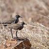 Senegal Lapwing, Trauerkiebitz, Vanellus lugubris