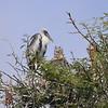 Nimmersatt, Yellow-billed Stork, Mycteria ibis jungvogel, juv. / Marabu, Marabou Stork, Leptoptilus crumeniferus
