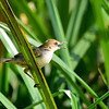 White-tailed Cisticola,..................., Cisticola ( species undescribed)
