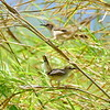 Kilombero Cisticola,.................., species undescribed