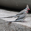Blaunacken-Mausvogel, Blue-naped Mousebird