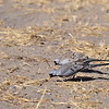 Namaqua Dove, Kaptäubchen,   Oena capensis  ♂