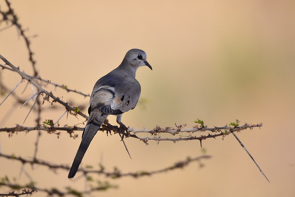 Namaqua Dove, Kaptäubchen,   Oena capensis ♀