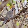 African Mourning Dove,Brillentaube,   Streptopelia decipiens