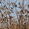 Laughing Dove,Palmtaube,Streptopelia senegalensis