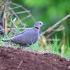 Red-eyed Dove,	Halbmondtaube,   	Streptopelia semitorquata