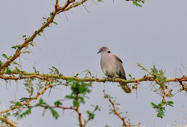 Brillentaube, African ourning Dove, Streptopelia decipiens