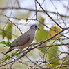 Emerald-spotted Wood Dove,	Bronzeflecktaube,   	Turtur chalcospilos