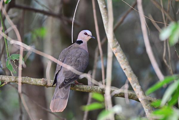 Halbmondtaube, Red-eyed Dove, Streptopelia semitorquata