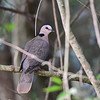 Halbmondtaube, Red-eyed Dove, Streptopelia semitorquata