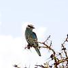 Blauracke, European Roller, Coracias garrulus