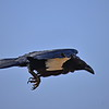 Pied Crow,Schildrabe,Corvus albus
