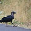 White-necked Raven,Geierrabe,Corvus albicollis