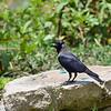 House Crow, Glanzkrähe,  Corvus splendens