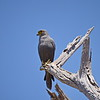 Graufalke, Grey Kestrel, Falco ardosiaceus
