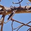 Pygmy Falcon, Halsband-Zwergfalke, Polihierax semitorquatus ♀