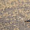 Double-banded Courser,Doppelband-Rennvogel,Rhinoptilus africanus