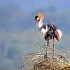 Südafrikanischer Kronenkranich, Grey Crowned Crane, Balearica regulorum