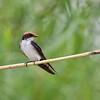 Wire-tailed Swallow, Rotkappenschwalbe, Hirundo smithii