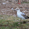 Graukopfmöwe, Grey-headed Gull, Larus cirrocephalus