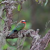 White-fronted Bee-eater,Weißstirnspint,Merops bullockoides
