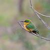 Little Bee-eater,Zwergspint,Merops pusillus