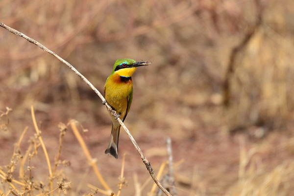 Zwergspint, Little Bee-eater, Merops pusillus