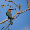 Weißstirnspint, White-fronted Bee-eater, Merops bullockoides