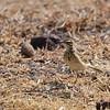 Zimtspornpieper, Grassland Pipit, Anthus cinnamomeus