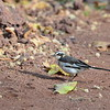 Witwenstelze, African Pied Wagtail,  Motacilla aguimp