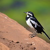 African Pied Wagtail,  	Witwenstelze, 	Motacilla aguimp