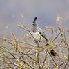 Weißbauch-Lärmvogel, White-bellied Go-Away-Bird ♀