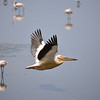 Rosa Pelikan, Greater White Pelican, Pelecanus onocrotalus