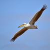 Rosa Pelikan, Great White Pelican, Pelecanus onocrotalus