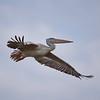 Pink-backed Pelican, Rötel Pelikan, Pelecanus rufescens