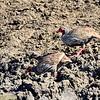Rotkehl-Frankolin, Red-necked Spurfowl, Francolinus afer
